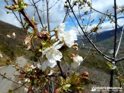 Cerezos flor Jerte; Nogaleas; grupos de senderismo; rutas madrid senderismo;senderismo niños madrid